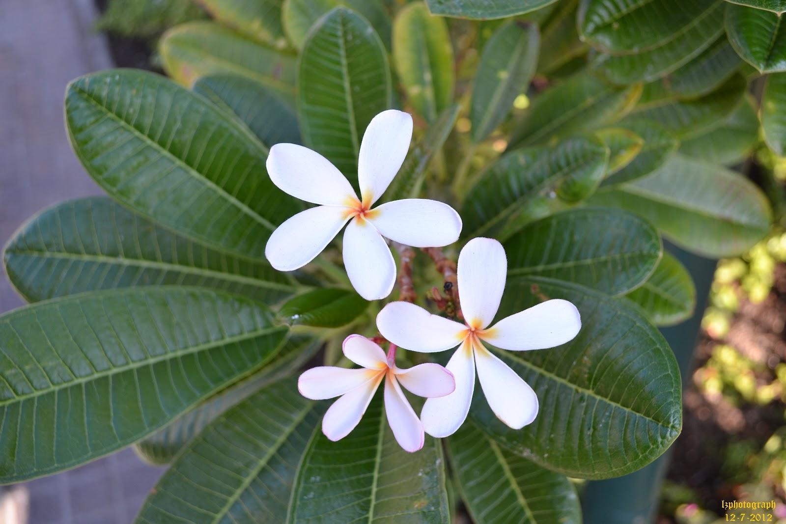 Plumeria/Kalachuchi flowers and leaves