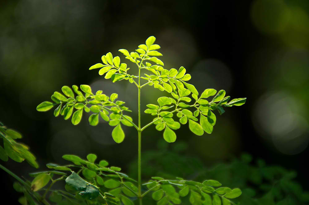 Miracle Tree: The Nature's Cure to Everyday Pain