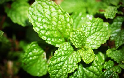 Sigh of Relief: Peppermint 's Health Wonders