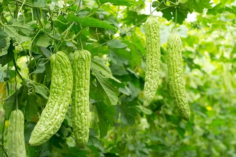 Bitter or Better:  The 'Not so Bitter' Truth about Our Bitter Gourd